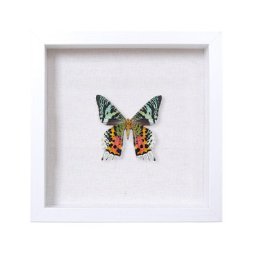 Urania ripheus Sunset Moth
