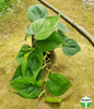 Philodendron scanden
