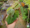 Philodendron scanden red