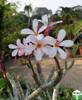 Plumeria obtusa 'Dwarf Singapore Pink'