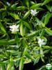 Tabernaemontana divaricata (dwarf)