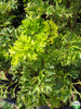 Polyscias fruticosa (Dwarf)