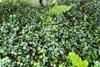 Trachelospermum asiaticum 'Tricolor'