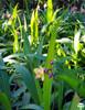 Spathoglottis 'Tricolor'