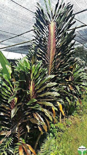 Cordyline fruticosa 'New Guinea Fan'