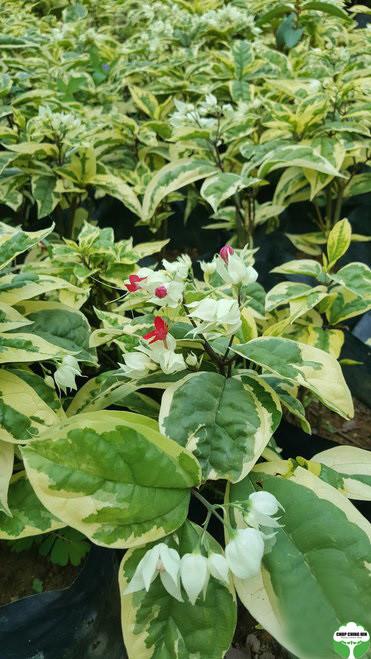 Clerodendrum thomsoniae 'Variegatum'