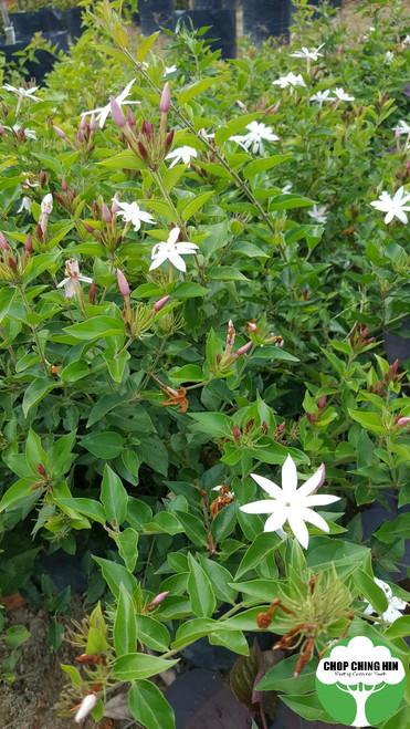 Jasminum laurifolium