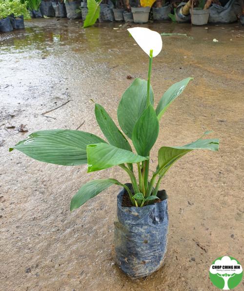 Spathiphyllum cannifolium