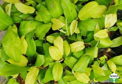 Philodendron erubescens 'Gold'