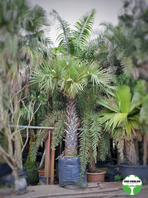 Borassodendron flabellifer