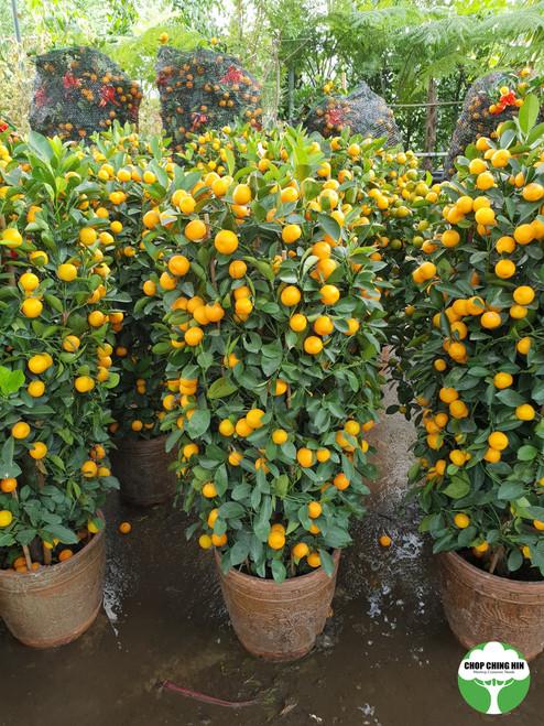 Four Season Lime 12INCH POT