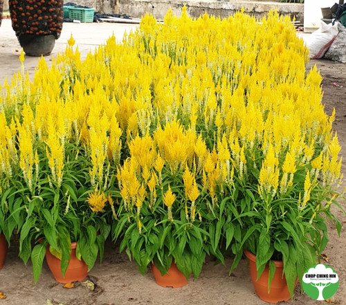 Celosia RED/YELLOW