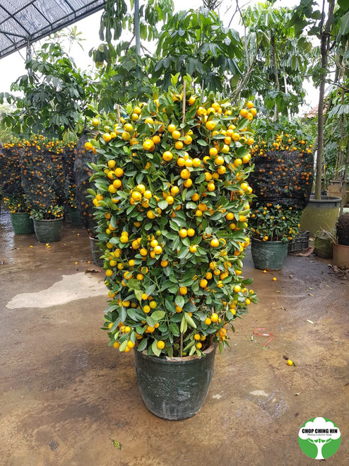 Four Season Lime 14INCH POT