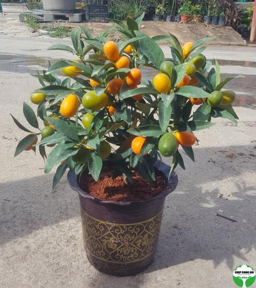 Four Season Lime Tabletop