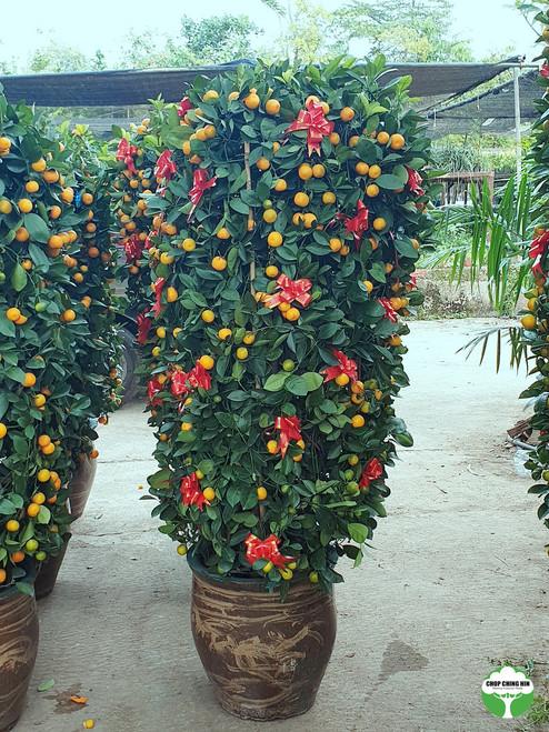 Four Season Lime Dragon Pot