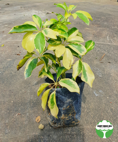 Schefflera arboricola 'Variegata'