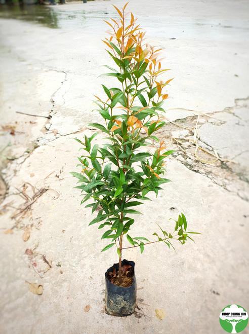 Syzygium myrtifolia 0.5MOH