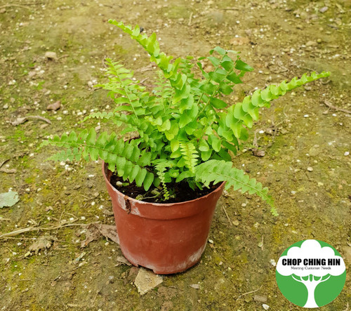Nephrolepis exaltata, sword fern or Boston fern in a pot