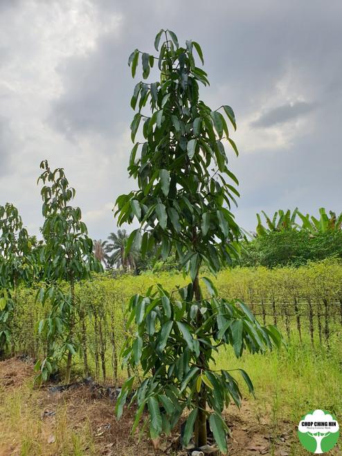 A Garcinia tree