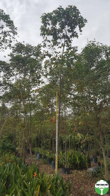 Eucalyptus Deglupta, Rainbow Gum or Mindanao Gum