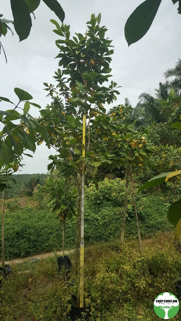 Gardenia carinata, Golden Gardenia, Kedah Gardenia, Cempaka Hutan, Chempaka Utan or Randa