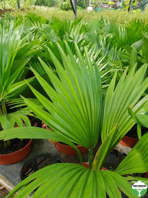Livistona chinensis  0.25m