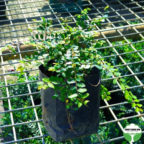 Phyllanthus cochinchinesis