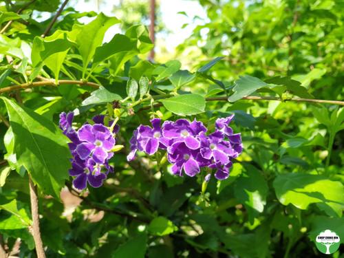 duranta dark purple flower