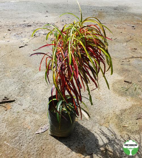 Codiaeum variegatum, colorful, small leaves, thin