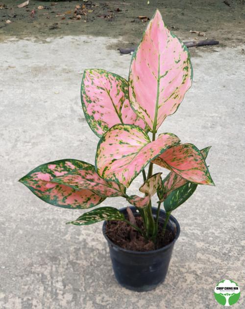 Aglaonema Valentine Red (Hybrid)