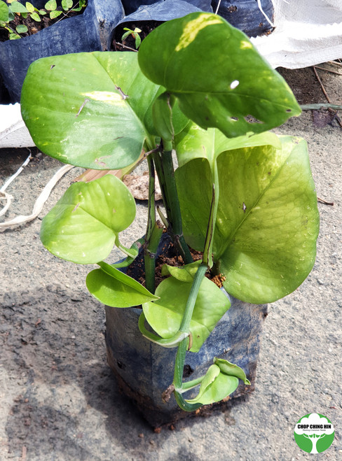 Ivy Arum, Golden Pothos, Money Plant, Devil's Ivy, Epipremnum aureum