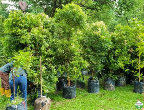 Syzygium zeylanicum