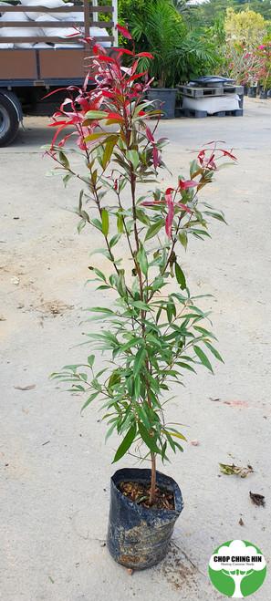 Syzygium myrtifolium (dark red young leaves, pink flowers)