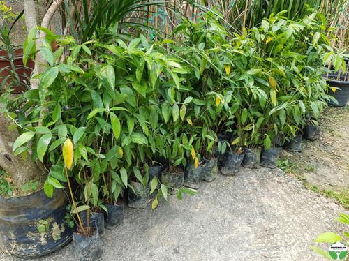 Dracaena surculosa var. maculata