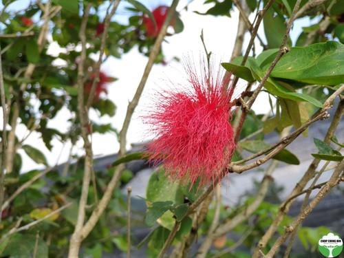 Calliandra emarginata