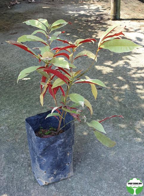 Excoecaria cochinchinensis 'Firestorm'