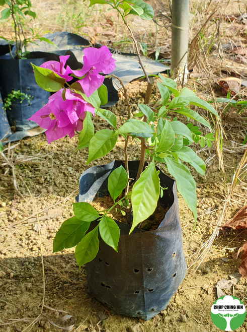 Bougainvillea 'Mrs Eva'