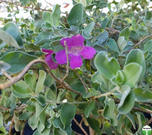Leucophyllum frutescens