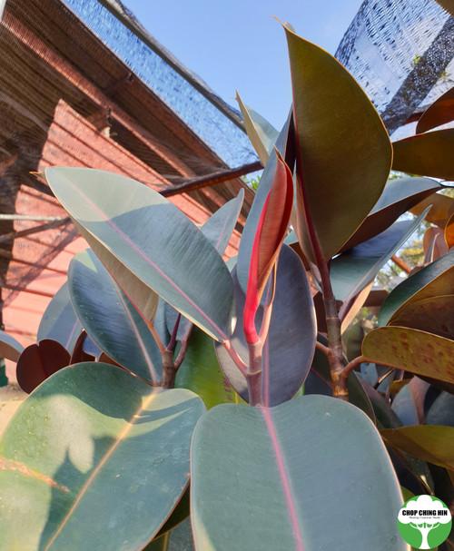 Ficus elastica 'Black Burgundy'