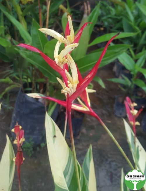 Heliconia psittacorum 'Lady Di' (Variegated)