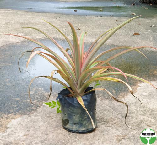 Ananas bracteatus 'Striatus'