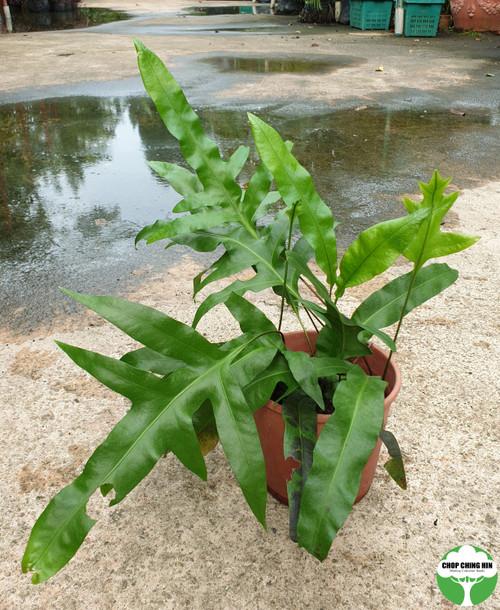 Phymatosorus scolopendria