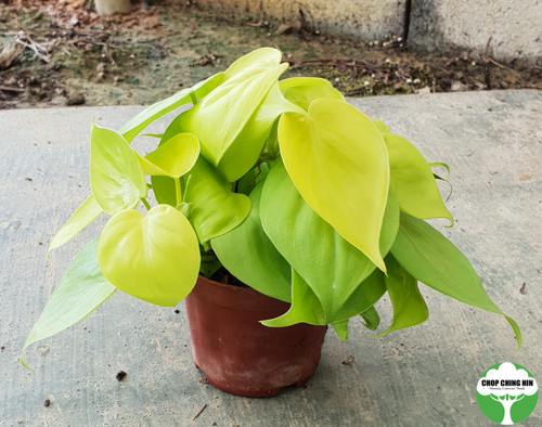 Philodendron scanden 'Gold'
