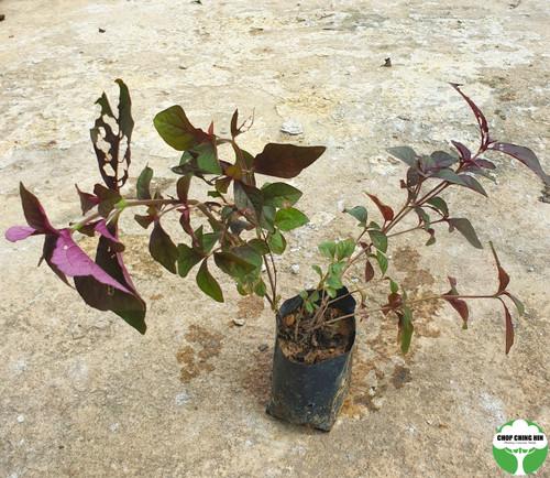 Cyathula prostrata (purple-green leaves)