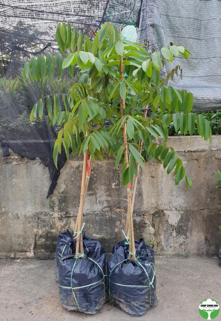 Canarium vulgare