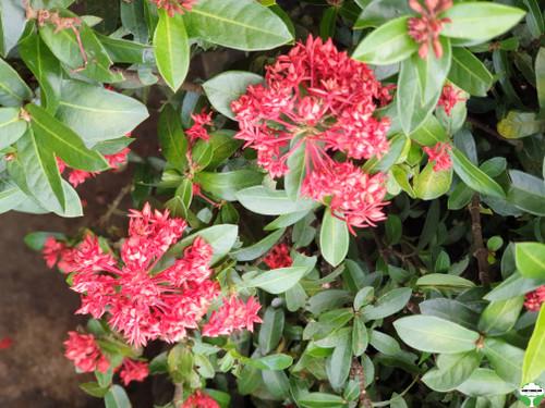 Ixora 'Crimson Star'