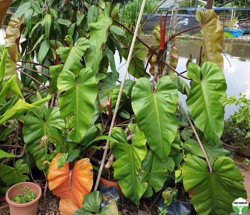 Philodendron 'Gold Fire'