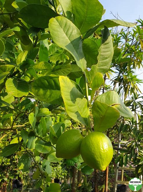 Citrus spp.