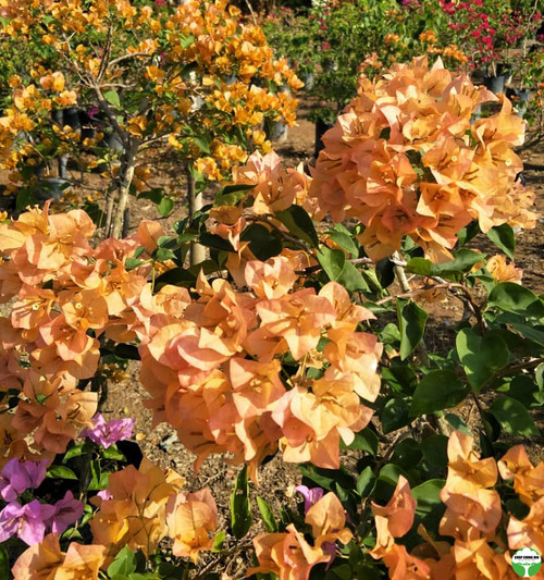 Bougainvillea x buttiana 'Golden Glow'