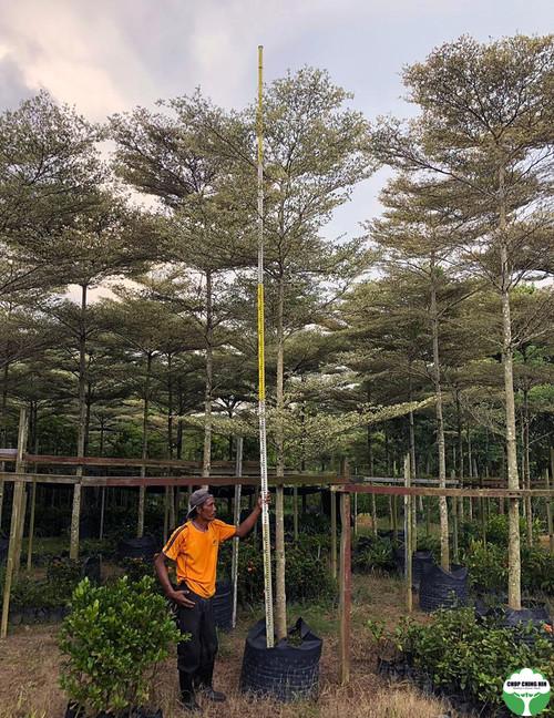 Terminalia mantaly 'Tricolor'